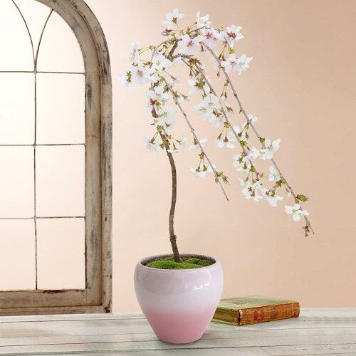 鉢植え「しだれ桜」