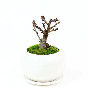 盆栽セット「つるや製菓都留屋桜プリン」