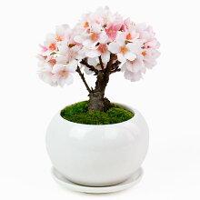 盆栽セット「まめや金澤萬久 わらび餅のバウム・桜」