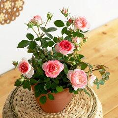 白桃のような優しい色合いの花びらが美しいバラの鉢植えバラ鉢植え「ホワイトピーチオベーション」