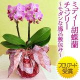 鉢植え「ミディー胡蝶蘭 チュンリー〜モダンな風呂敷包み〜」