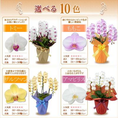 胡蝶蘭3本立ち色が選べる2
