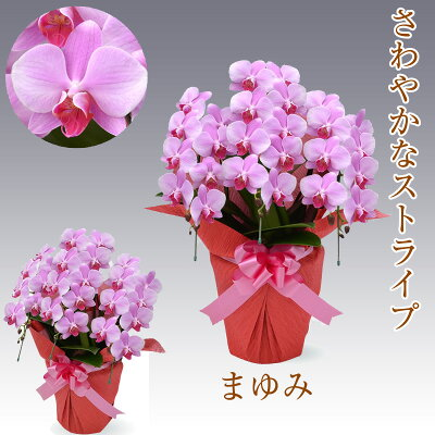 胡蝶蘭3本立ちまゆみ