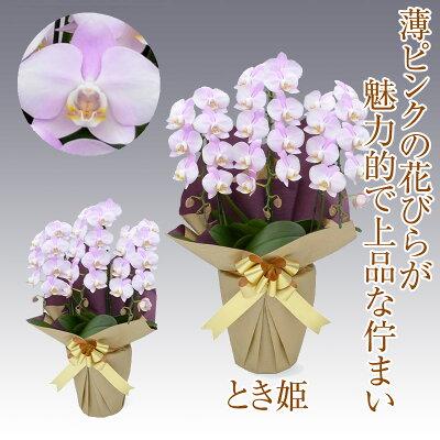 胡蝶蘭1万円とき姫
