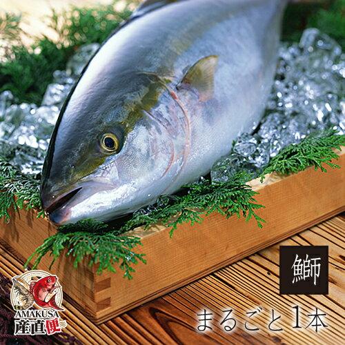 海鮮 ギフト ◆天草ブリまるごと1本(4kg前後)◆ 鰤しゃぶ 照焼き お刺身に! 天草産直便鮮魚  刺身/鮮魚 送料無料