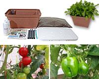 ◆お手軽家栽培、プランター栽培人気ナンバーワン◆家庭菜園初心者も安心!お手元に届いたその...