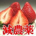●減農薬!キレがあるジューシーで濃厚な甘さに酸味の隠し味♪ご家庭用・母の日に最適いちご:...