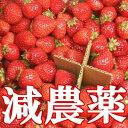 ●減農薬!キレがあるジューシーで濃厚な甘さに酸味の隠し味♪自家用に最適いちご!訳あり減農...