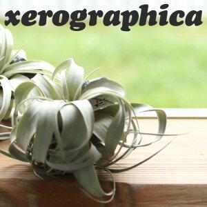 エアープランツ チランジア キセログラフィカ グリーン エアプランツ ティランジア おしゃれ インテリア インテリアプランツ