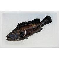 幻の高級魚を食べる!マハタをまるごとお届け。刺身が絶品の白身魚!マハタラウンド1.8kg〜2.2kg【愛媛県認定漁業士協同組合】