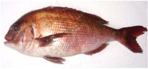 愛媛・宇和海の漁場で育てられた鯛です!安高水産限定のこだわり真鯛です。ふかうら真鯛(養殖)...