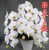 大輪胡蝶蘭3本立ち白30輪以上