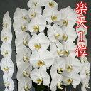 Panisea. uniflora  パニセア属 ユニフローラ