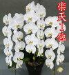 大輪胡蝶蘭3本立ち白40輪以上