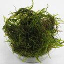 【送料無料】ウィローモス 無農薬 1カップ 約20g エビ シュリンプ メダカ 金魚藻 川魚