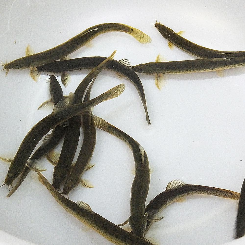 (淡水魚)生餌 エサ用ドジョウ/どじょう(S〜M) 8cm〜13cm前後(1匹) 川魚 釣り餌 川魚 【2点以上7000円以上ご購入で送料無料】