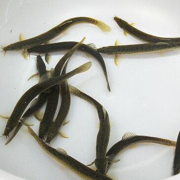 (淡水魚)生餌 エサ用ドジョウ/どじょう S 10cm前後(50匹) 川魚 釣り餌 川魚 【2点以上7000円以上ご購入で送料無料】