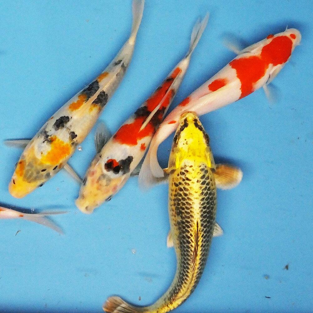 錦鯉Mix (LL) 鯉 色鯉 21~25cm前後 3匹 ニシキゴイ 生体 川魚 【2点以上5000円以上ご購入で送料無料】