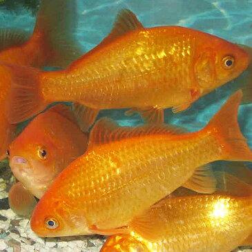 金魚 小和金 エサ用金魚(5匹)生餌 エサ金 餌金 和金 川魚 【2点以上7000円以上ご購入で送料無料】