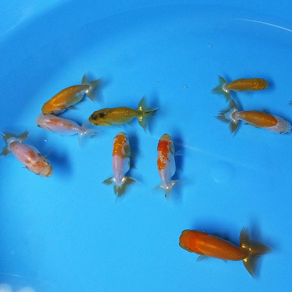 【国産金魚】当歳 らんちゅうMIX S(約5cm前後)10匹 川魚 【2点以上5000円以上ご購入で送料無料】