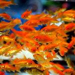 金魚エサ用金魚小赤餌金50匹エサ餌