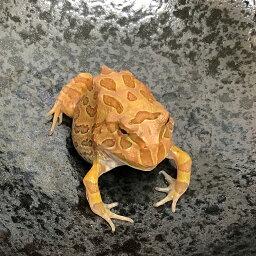 (両生類)アルビノクランウェルツノガエル ストロベリー(約3-5cm)(1匹)カエル