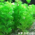 【定形外送料無料】(水草)カボンバ金魚藻<10本>メダカ国産カモンバ(10本)