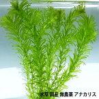 水草 国産 無農薬 アナカリス メダカ 金魚藻 オオカナダモ(5本) 【メール便送料無料】