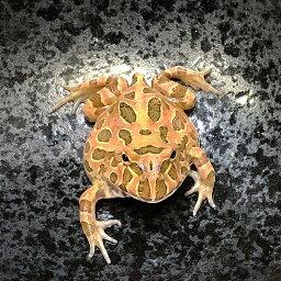(両生類)クランウェルツノガエル ブラウン(約5-8cm)(1匹)カエル