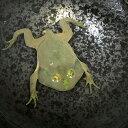 (両生類)マルメタピオカガエル(バジェットガエル)(約5-7cm)(1匹) 水生ガエル カエル