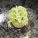 (両生類)クランウェルツノガエル ブルーペパーミント(約3-5cm)(1匹)カエル