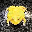 (両生類)アルビノクランウェルツノガエル スーパーイエロー(約3-5cm)(1匹)カエル