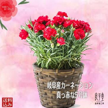 母の日ギフト ランキング きれいな岐阜県産 真っ赤のカーネーション 5号