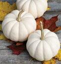 [珍しい白色の小型カボチャ 野菜タネ]ミニかぼちゃ:プチホワイトの種