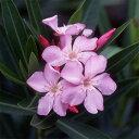 強健で夏に切れ目なく花を咲かせます花木 庭木の苗/キョウチクトウ(夾竹桃):パンクタタム(...