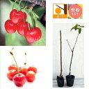 【ラッキーシール対応】果樹の苗/サクランボ2種受粉樹セット:...