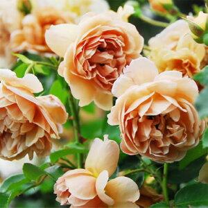 バラの苗/四季咲中輪バラ:カフェ大苗