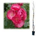樹高約1.2m 四季咲き〜返り咲き ピンクのバラの人気品種!つるバラ:アンジェラ大苗長尺6号ポット