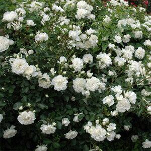 大輪のオールドローズのような花 グランドカバー・つるバラタイプ 四季咲き性修景用バラ:ホワ...