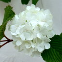 白い手毬花の人気花木花木 庭木の苗/オオデマリ(大手毬)4.5〜5号ポット