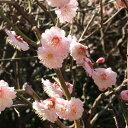 桃紅色の八重花が美しく、自家結実性の中果・中生種 苗木果樹の苗/[春の花木特集]ウメ(梅):...