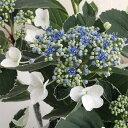 斑入り葉が美しいあじさい花木 庭木の苗/ガクアジサイ:恋路ヶ浜3.5号ポット
