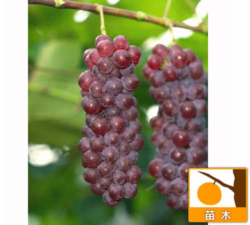 果樹の苗/ブドウ:デラウエア挿木苗4〜5号ポット