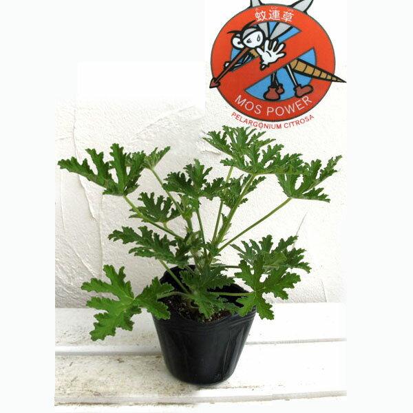 ハーブの苗/蚊連草(蚊よけ植物かれんそう)3号ポット