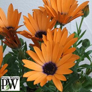 PW草花の苗/オステオスペルマム:オレンジシンフォニー3号ポット2株セット