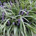 草花の苗/ヤブラン(リリオペ):斑入りヤブラン3.5号ポット2株セット
