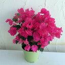 ブーゲンビリア赤花5号鉢植え
