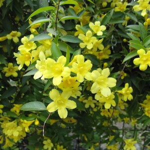 【つる性植物のなかでも人気の植物】草花の苗/カロライナジャスミン3号ポット2株セット