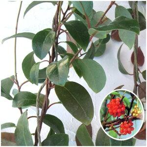 常緑性 美男蔓・サネカズラ草花の苗/長尺つるもの:ビナンカズラ5号ポット長さ1.5m