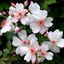 四季咲中輪バラタイプ 四季咲き修景用バラ:ピンク サクリーナ新苗